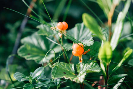 Ripe orange cloudberry on a background of green leaves in the forest