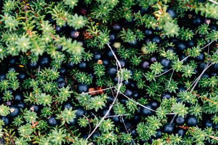 Crowberry also known as Empetrum nigrum in the forest