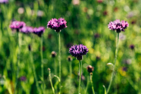 Brown Knapweed, known also as Brown-rayed Knapweed in summer Stock Photo