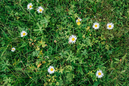Beautiful wild camomile flowers. Blooming meadow with organic herbs
