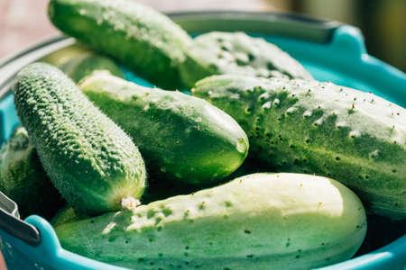 Texture background of green fresh cucumbers concept Foto de archivo