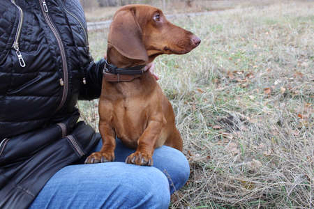 sits: Dog Dachshund sits in the hands of man Stock Photo