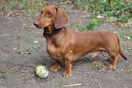 mining: Dog Dachshund brown in color with a small pumpkin