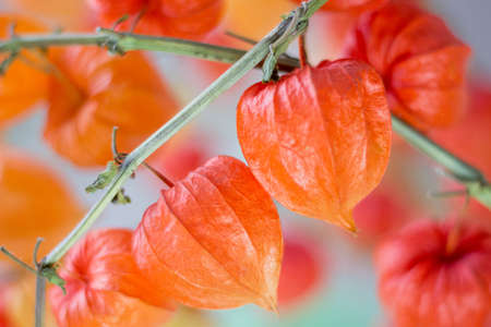 alkekengi: Orange flowers of Physalis on the branches on a white background
