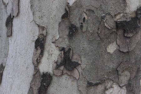 sicomoro: Sfondo dalla corteccia di colore grigio Sycamore