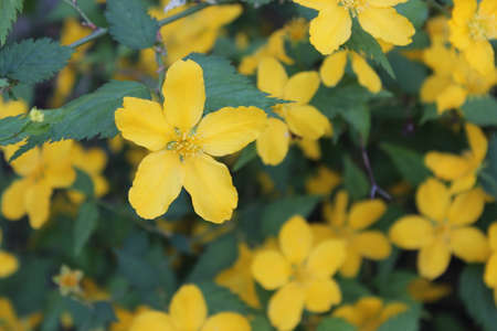 Flowering shrub with large yellow flowers and green leaves stock flowering shrub with large yellow flowers and green leaves stock photo 57741787 mightylinksfo
