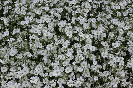 cerastium tomentosum: Cerastium tomentosum small white flowers. Carnation. A blade of grass. Stock Photo
