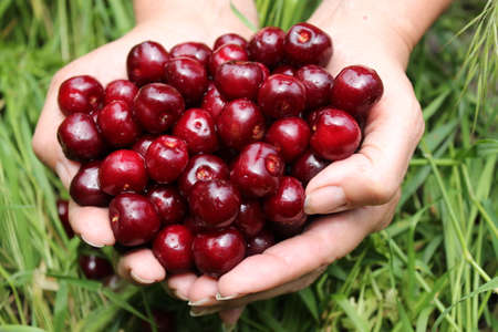 womens hands: Berries are large cherries in womens hands on the background of grass.