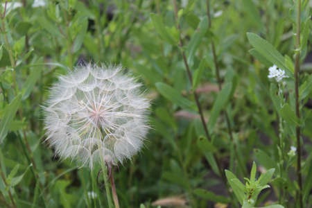 Blown white dandelion on a background of green grass Stock Photo
