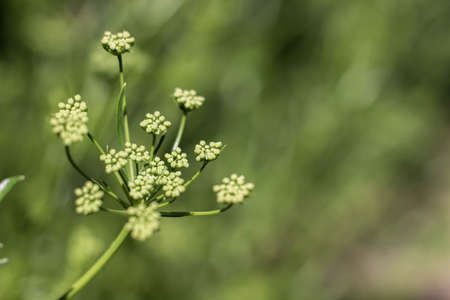 inflorescence: Inflorescence seeds of parsley, a sprig of green.