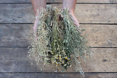 connectedness: Dry grass, camomile, wormwood in his hands on a background of boards