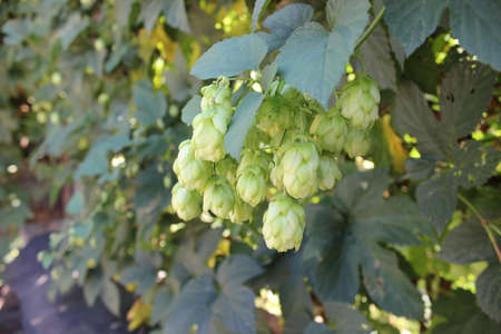 beer garden: Ripe Hop cones on bush with green leaves
