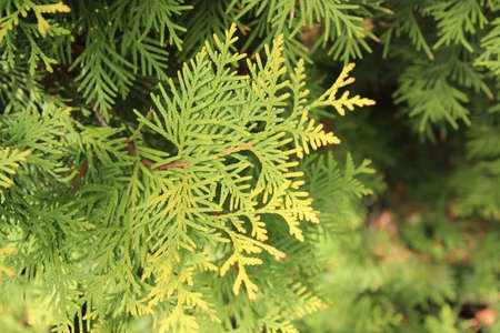 arborvitae: Autumn yellow and green twigs of arborvitae bush