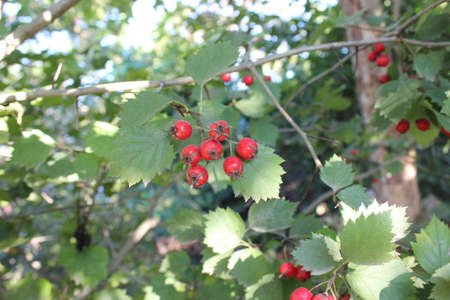 Ripe red hawthorn berries on the bush