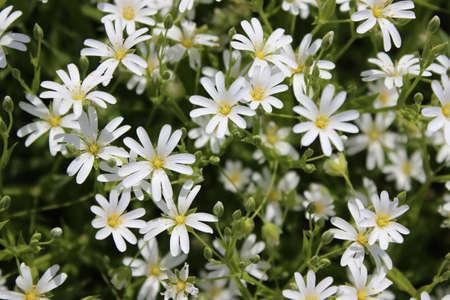 Small white spring flowersamomile stock photo picture and small white spring flowersamomile stock photo 78431639 mightylinksfo
