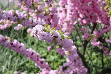 Flowering bush with pink flowers stock photo picture and royalty flowering bush with pink flowers stock photo 78429156 mightylinksfo