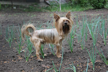 Yorkshire Terrier walks in the garden Stock Photo