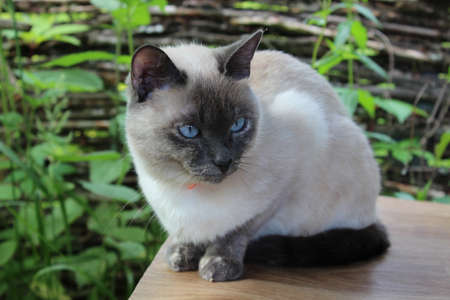 Small cat of Siamese breed lies on table