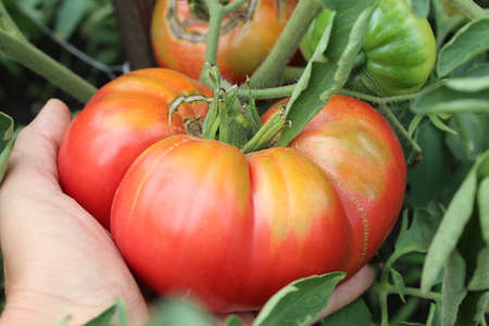 Ripe organic tomato in female palm Reklamní fotografie