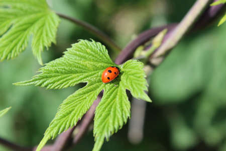Ladybug on a green leaf. Wild nature. Insects