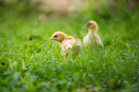 a small yellow chick walks across the yard