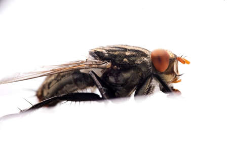 Extreme close-up of House fly isolated on white background