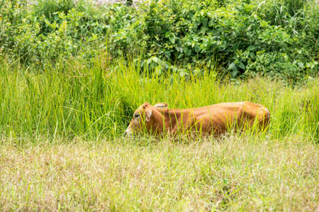 Brown cow in the meadow