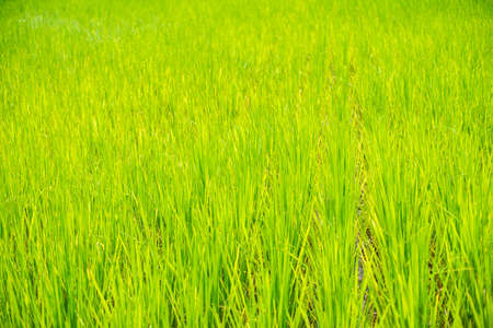 Green rice fields are growing. Imagens