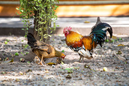 Asian chickens are walking for food.