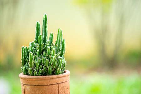 The cactus in a brown clay pot is named Cereus tetragonus. Imagens