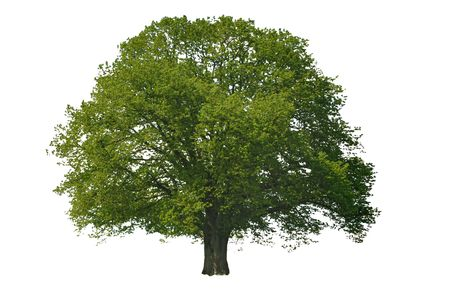 single linden tree isolated on white background photo