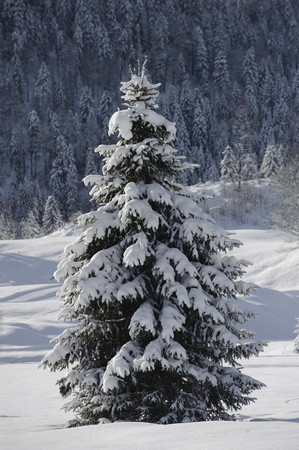 single fir tree in winter snow photo