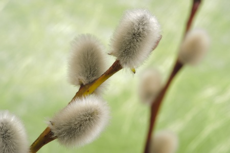 pussy willow: catkin willow
