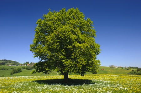 single tree in springtime at meadow