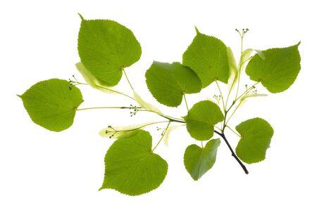 tilo: hojas de Tilo Foto de archivo