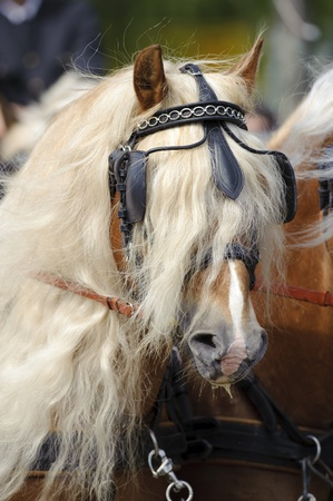 MUNICH, GERMANY - JUNE 4:  portrait of Haflinger horse with styled long mane while a public show at international equestrian challenge -Pferd International 2011- at June 4, 2011 in Munich, Germany