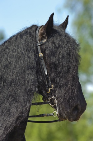 MUNICH, GERMANY - JUNE 4:  portrait of Friese horse with styled long mane while a public show at international equestrian challenge -Pferd International 2011- at June 4, 2011 in Munich, Germany
