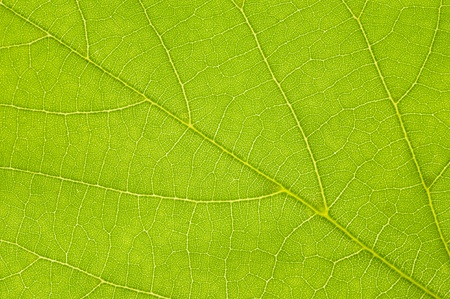 Green linden leaf isolated over white photo