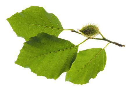 Faggio verde foglia isolato su bianco