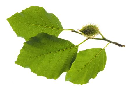 Green beech leaf isolated over white Stock Photo - 9862326