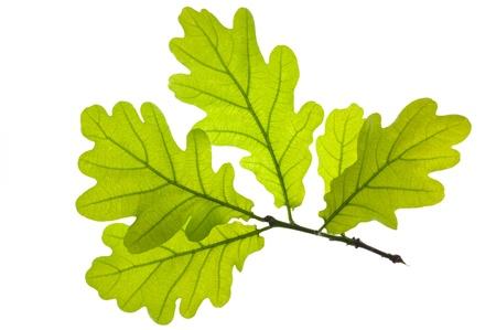 roble arbol:  Hoja de roble verde aislado en blanco