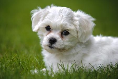 havanese: puppy dog havanese
