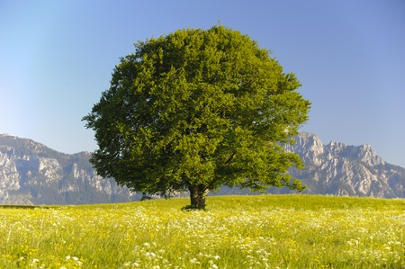 beech tree beech: single beeche tree at bavarian alps
