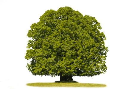 isolated linden tree Stock Photo