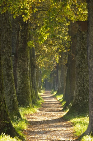 alley with oak trees photo