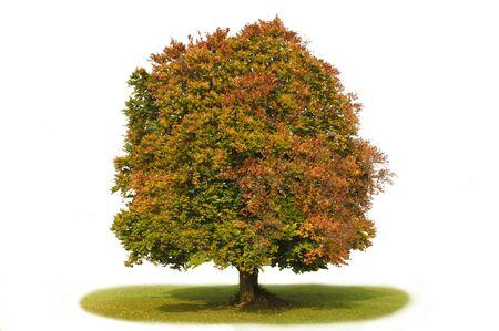 isolated beech tree photo