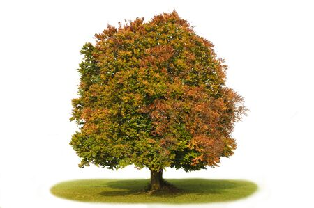 beech tree beech: isolated beech tree Stock Photo