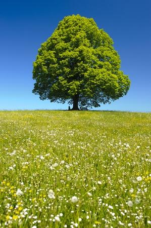 single linden tree at springtime photo
