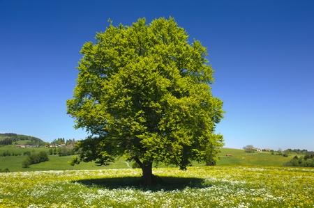 faggio singolo albero a primavera