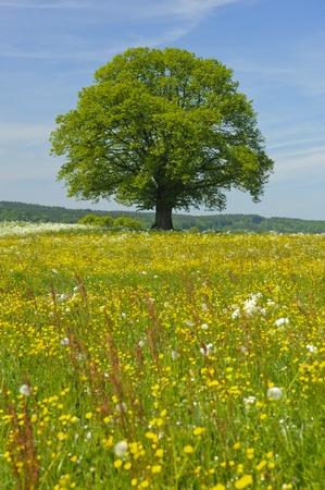 Enkele boom in de lente Stockfoto - 12674576